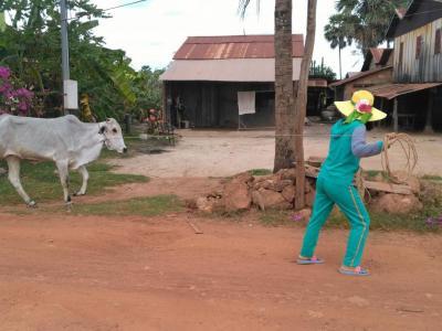 Une vache dans la région de kampot