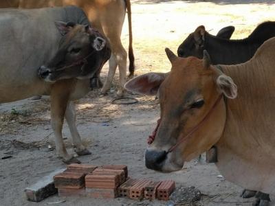 Les vaches de thakhek