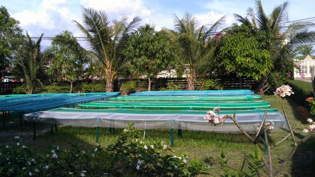 Séchage du poivre vert