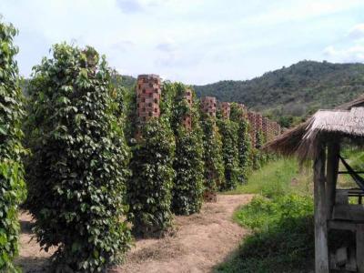 Plantations de poivre à Kampot