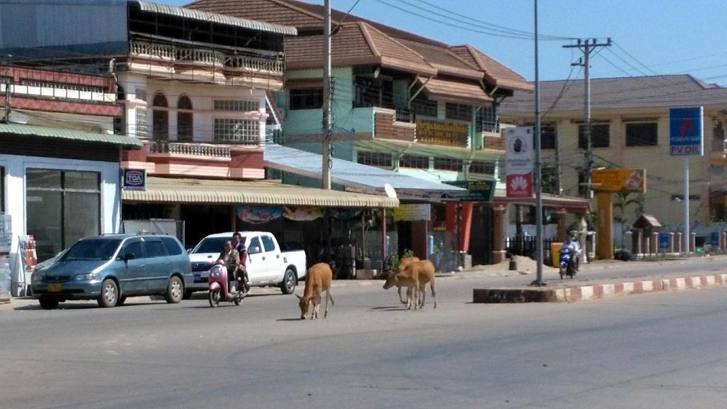 La promenade des vaches dans le centre de Thakhet