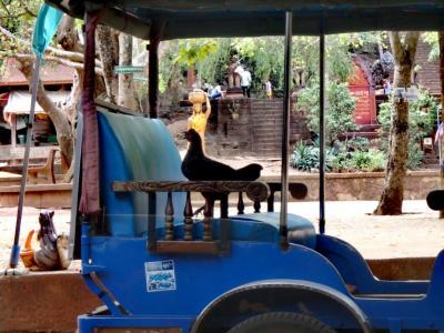 Poule au temple de Wat Banan