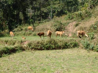 Petit cheptel de vaches