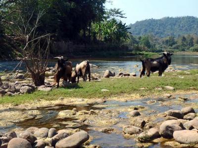 Chèvres au bord de la rivière