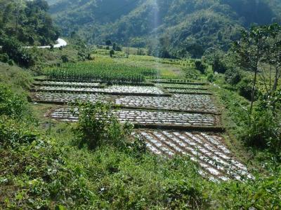 Plantation dans la région de Muang La